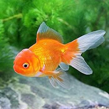 ドキュメント72時間の金魚の種類・東錦