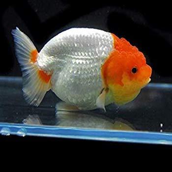 ドキュメント72時間の金魚の種類・らんちゅう
