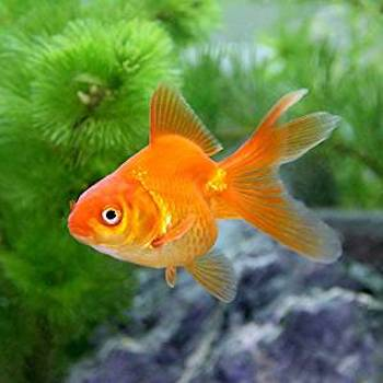 ドキュメント72時間の金魚の種類・琉金